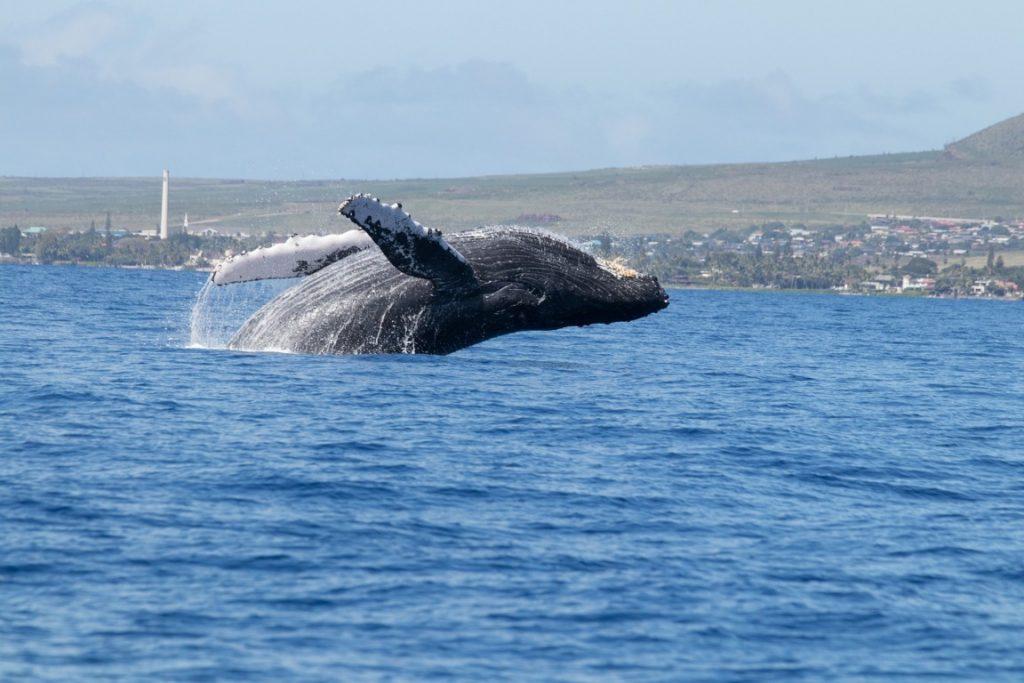 Balene Maui